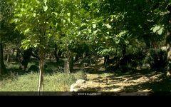 رفسنجان - راویز